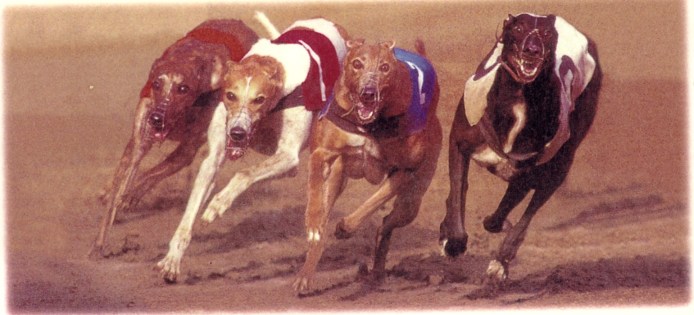 Racing greyhounds in action